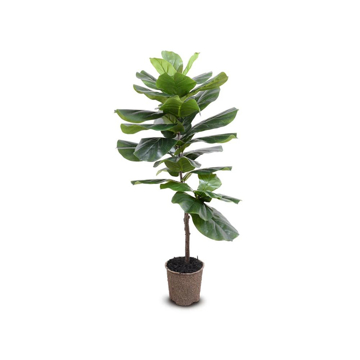 Picture of FIDDLE LEAF FIG TREE 48""