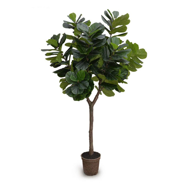 Picture of FIDDLE-LEAF FIG TREE, 10'