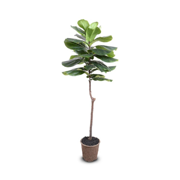Picture of FIDDLE-LEAF FIG TREE, 62""